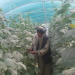 Rasool Mohammad of Zaranjo village in the greenhouse