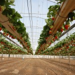 Strawberries in hanging systems in greenhouses near Tulkarem, in the West Bank