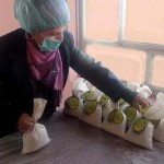 An Iraqi widow helps with packaging Anbar Rice as part of the Rawdi Widows and Orphans Welfare Organization's job skills program