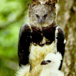 The Harpy Eagle, a majestic bird of prey, is Panama's National Bird.