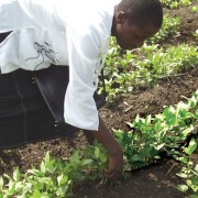 Millicent Juma of Olambwe tends to her vegetables.