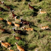 A herd of white-eared kob runs across an expanse of what is now South Sudan.
