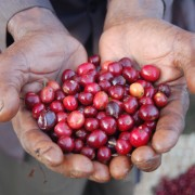 Ripe red Yirgacheffe coffee berries