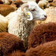 Amhara Region's Debre Birhan Sheep Multiplication and Breed Improvement Center has imported 126 Awassi sheep from Israel and is crossing them with almost 1,000 local sheep to improve the local Menze breed.