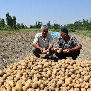 Aravan farmers doubled their profits due to high and early yields of potato