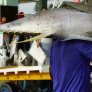 A tuna is tagged for traceability.