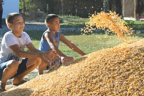 Kids enjoy playing with new maize yield that is twice as much as last year