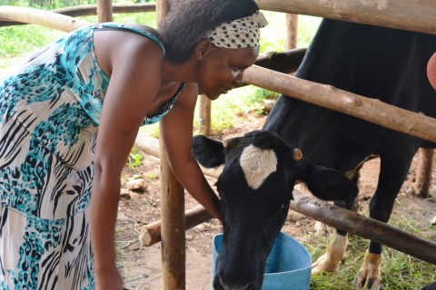 Ruth Dusabe tends to one of her cows.