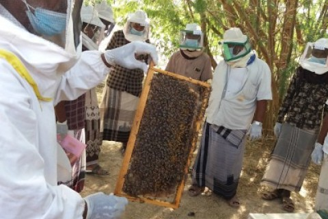 USAID helps beekeepers in Yemen increase their income from honey production through better colony management, modern beehives, and postharvest best practices. Photo: ERLP