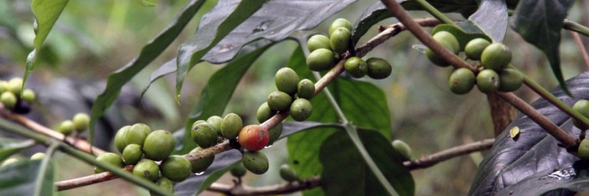 Ripening coffee beans on the tree. James Reindl, USAID