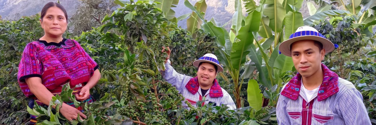 An indigenous Guatemalan woman and her two sons cultivate coffee.