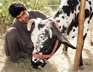 Abdul Wahab is shown with his three-year-old dairy cow, Ablaka. Livestock is an integral part of rural life, providing Afghan fa
