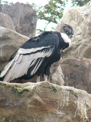 The Condor, pictured at Guayllabamba National Zoo north of Quito, Ecuador, has a 12-foot wingspan. USAID efforts are helping to