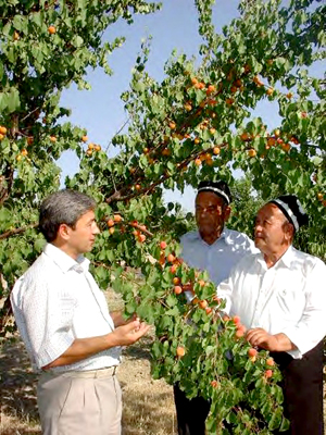 Khamzaev Farm owner Abdumukim Mirkarimov (left) appraises the apricot harvest with farm personnel.