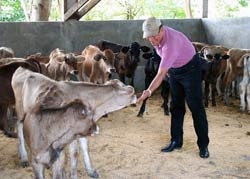 "Daniel Nunez, president of the Cattle Raising Commission of Nicaragua, tends to his ""organic"" calves."