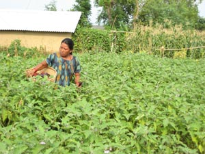 Man Maya Lama, the beneficiary of USAID agricultural training, tends to her fields.