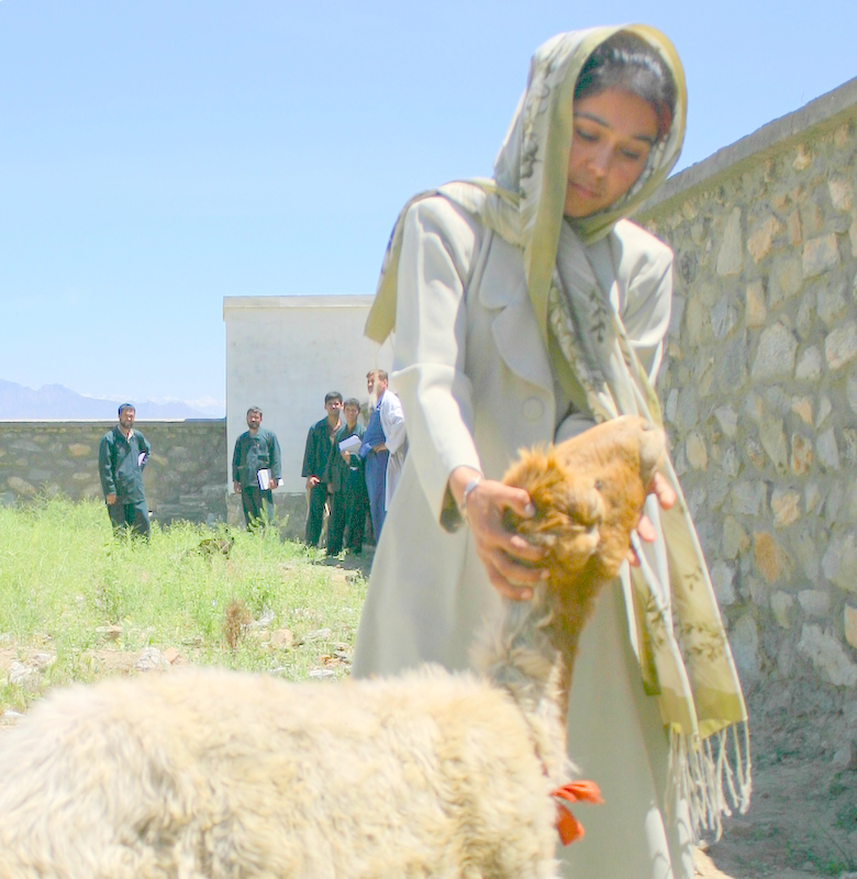 A young woman inspects sheep at a veterinary training clinic